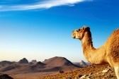 9025624-camel-in-sahara-desert-hoggar-mountains-algeria
